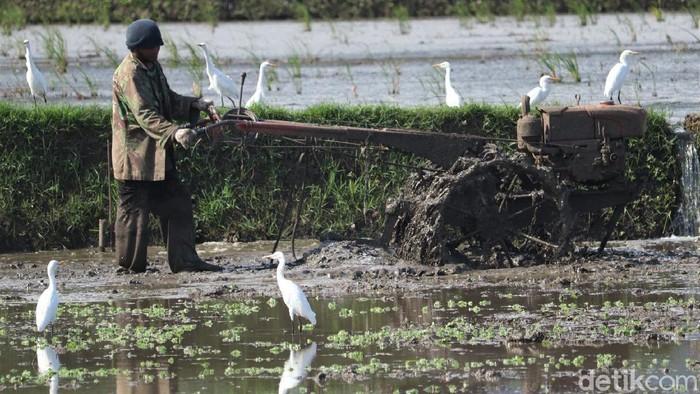 Puluhan burung kuntul mencari makan di area pesawahan yang berada di Kota Bandung. Burung kuntul kerap mencari makanan di area sawah yang tengah dibajak.
