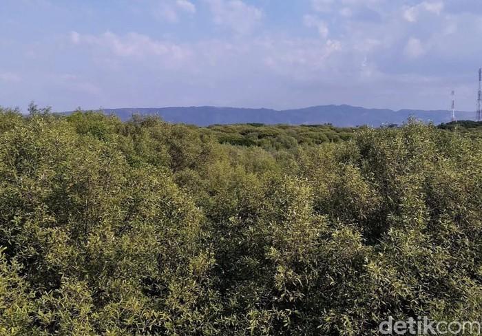 Kampung Blekok di Hutan Mangrove Situbondo