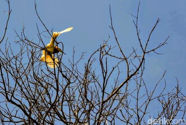 Jika ingin menikmati kawanan burung blekok terbang secara koloni, waktu paling tepat sekitar pukul 5 pagi atau 5 sore. Sebab, pada jam ini ribuan burung putih ini terbang berangkat dan pulang mencari makan ke kawasan lain.