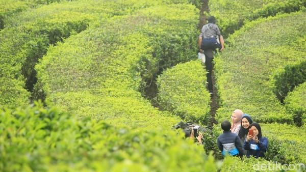 Minat wisatawan untuk berlibur tidak tertahan meski kebijakan PPKM dijalankan. Kebun teh Ciwidey pun jadi sasaran serbuan warga. Banyak warga lokal yang berwisata ke sini. (Muhammad Iqbal/detikTravel)