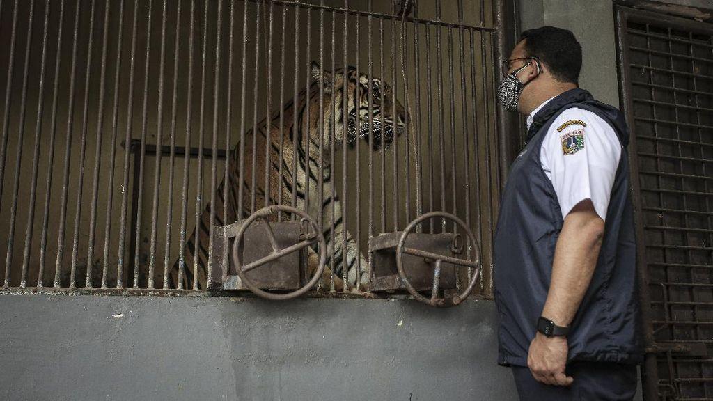 5 Fakta Dua Harimau Sumatera Positif Corona Isoman di Ragunan