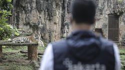 Pakar: Infeksi Corona Harimau Ragunan Tak Menular ke Manusia