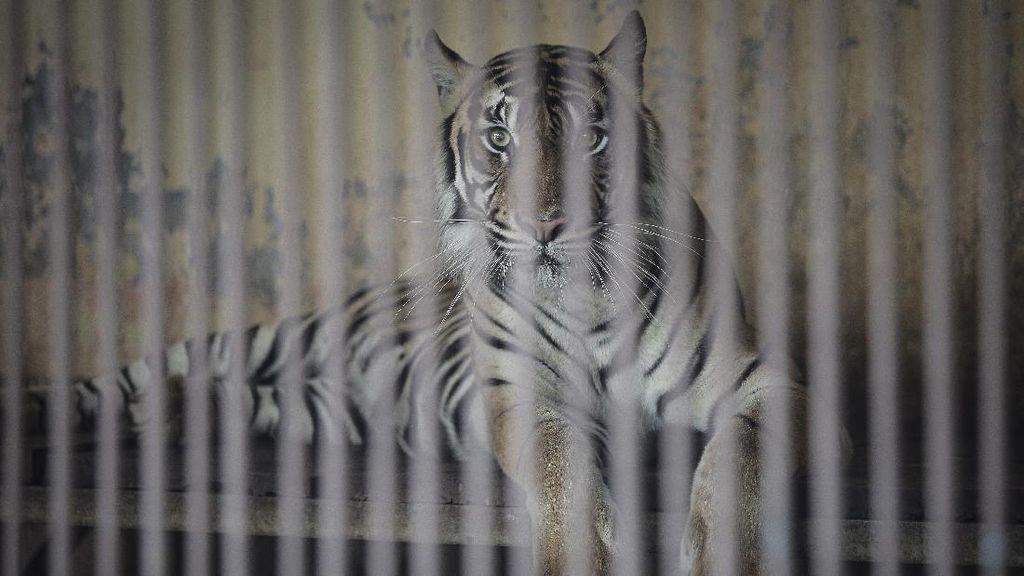 2 Harimau Positif Corona, Ragunan Bakal Swab Satwa yang Bergejala