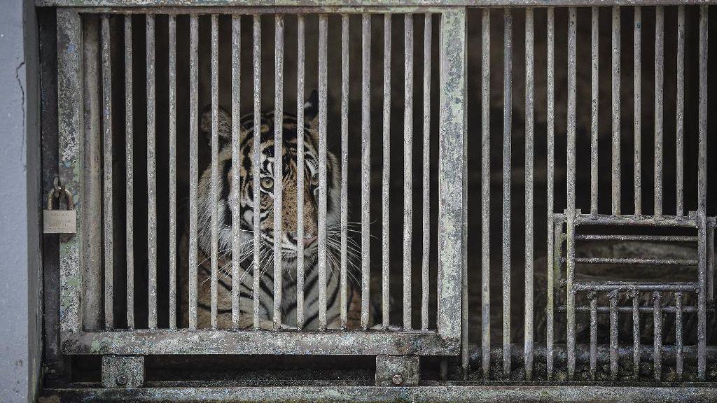 Pawang 2 Harimau yang Positif Corona di Ragunan Dites Swab