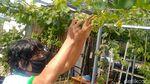 Bangkit dari Corona lewat Hobi Menanam Anggur