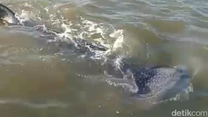 Kawanan hiu paus kembali tampak di perairan dangkal Pasuruan. Hiu paus ini berenang bergerombol 5-10 ekor.