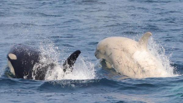 Mereka menemukan orca albino ini saat sedang mengikuti kegiatan pengamatan paus yang digelar oleh Gojiraiwa Kanko Whale Watching. Lokasi penemuannya disebutkan di perairan Taman Nasional Shiretoko. (dok. Gojiraiwa Kanko Whale Watching)