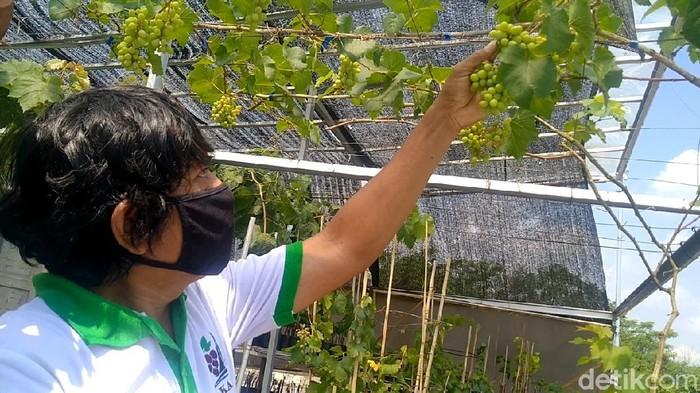 Pria di Pekalongan menggeluti tanam anggur, Senin (2/8/2021).