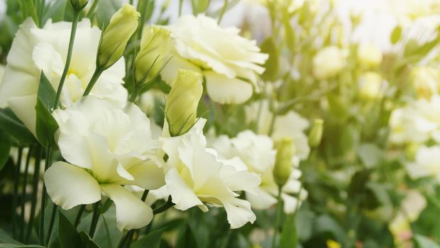Blooming White Eustoma, Lisianthus Flowers in the Garden