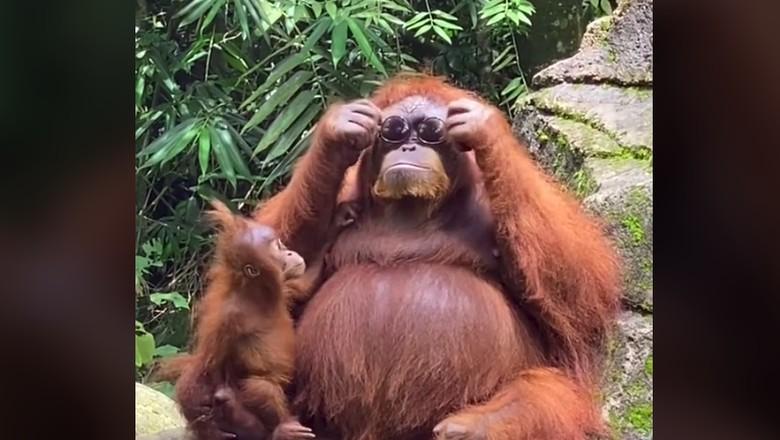 Orangutan memakai  kacamata hitam