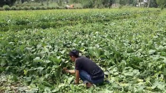 Petani sawi di Sukabumi gagal panen hingga minta tolong Mentan