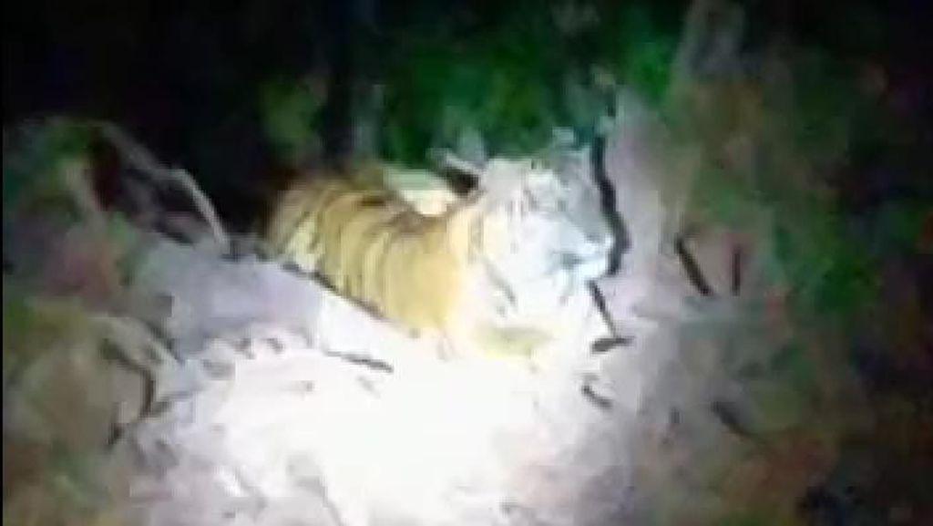 Viral Harimau Nyantai di Lokasi Pembangunan Jalan Pedalaman Bener Meriah