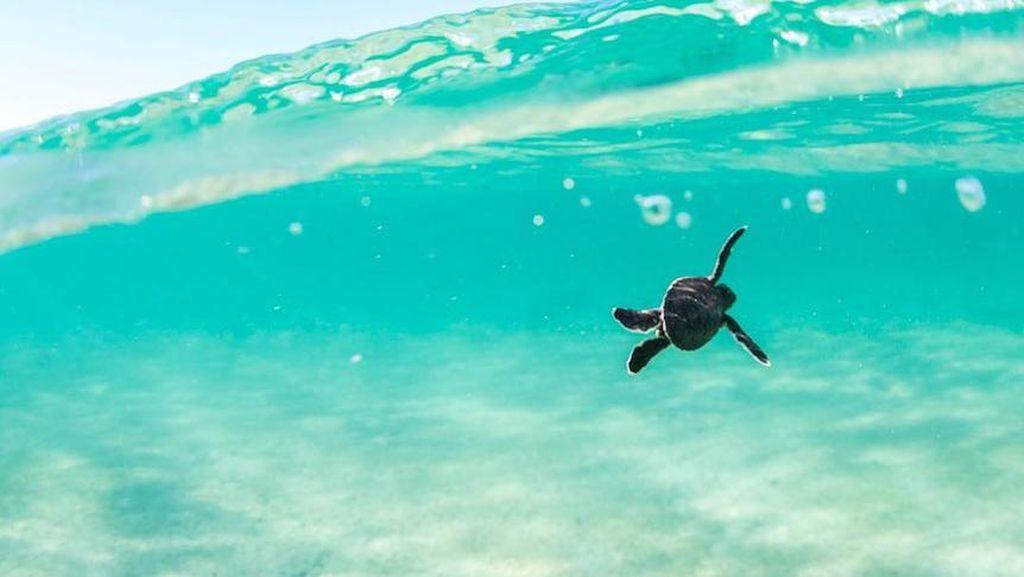 Bayi Kura-kura Lebih Sering Menelan Serpihan Plastik yang Dikira Makanan