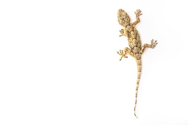Sadarkan cicak mirip dengan tokek? Secara taksonomi, cecak termasuk ke dalam famili Gekkonidae alias keluarga tokek. Mereka masuk dalam genus Hemidactylus yang terdiri dari beberapa spesies. Spesies yang sering kita jumpai di rumah yaitu Hemidactylus frenatus. (iStock)