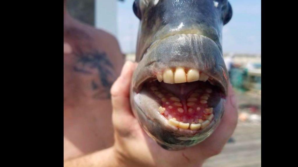 Viral Nelayan Tangkap Ikan Bergigi Mirip Manusia