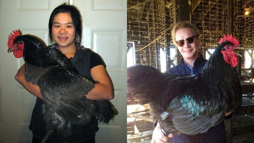 Ayam Hitam Terbesar di Dunia Ini Beratnya Capai 9 Kilogram