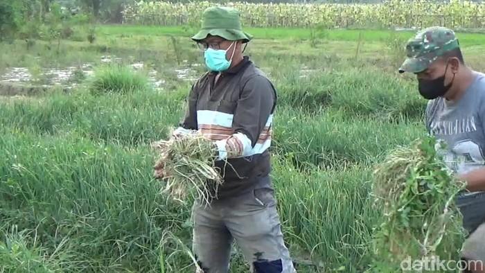Lahan bawang merah yang dicuri di Desa Manjung, Klaten, Jumat (6/8/2021).