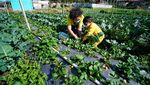 Melihat Puncak Musim Panen Strawberry di Tawangmangu