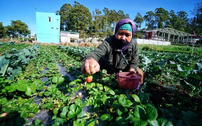Domi (49) sedang memanen buah strawberry di Tlogodringo, Tawangmangu, Karanganyar, Jawa Tengah. Bulan ini merupakan puncak panen buah tersebut. Domi memanen buah strawberry di kebunnya daerah Tlogodringo, Tawangmangu, Karanganyar, Jawa Tengah, Sabtu (7/8/2021).