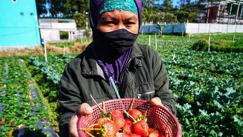 Puncak Panen Buah Strawberry di Tawangmangu