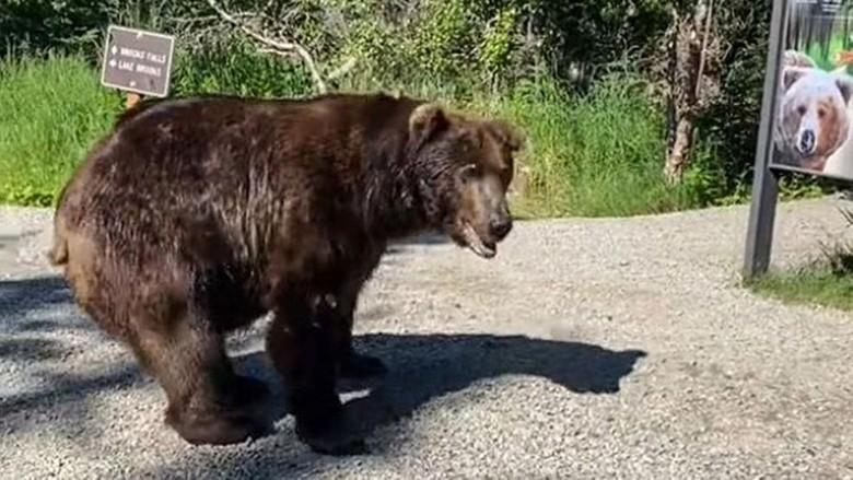 Beruang grizzly ngecek poster diri