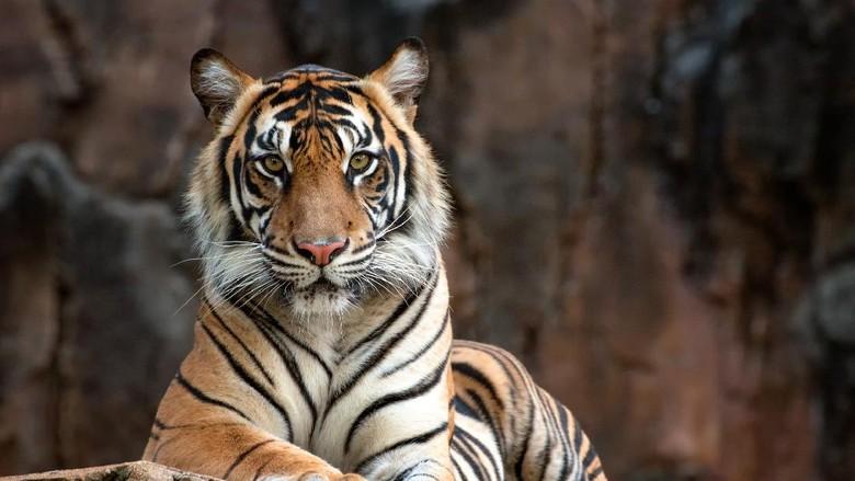 photos of a sumatrean tiger
