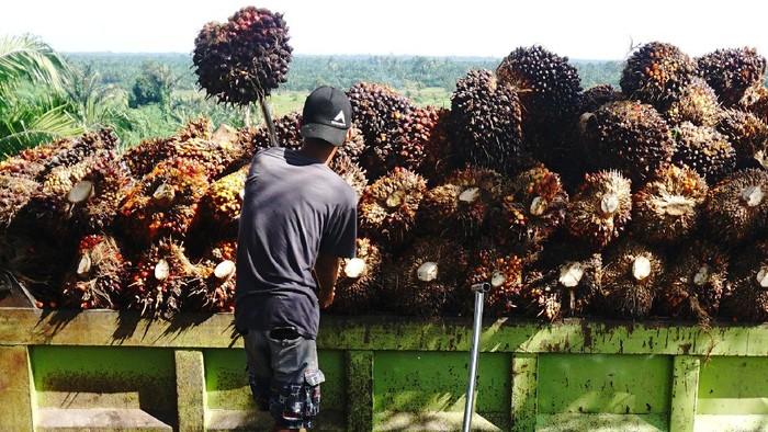 Pekerja membongkar muat Tandan Buah Segar (TBS) kelapa sawit ke atas truk di Mamuju Tengah , Sulawesi Barat, Rabu (11/08/2021). Harga TBS kelapa sawit tingkat petani sejak sebulan terakhir mengalami kenaikan harga dari Rp1.970 per kilogram naik menjadi Rp2.180  per kilogram disebabkan meningkatnya permintaan pasar sementara ketersediaan TBS kelapa sawit berkurang. ANTARA FOTO/ Akbar Tado/wsj.