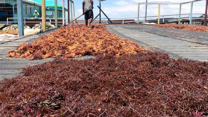 Geliat Petani Rumput Laut
