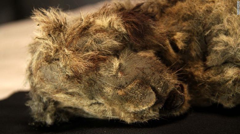 Penemuan mumi singa gua di Siberia