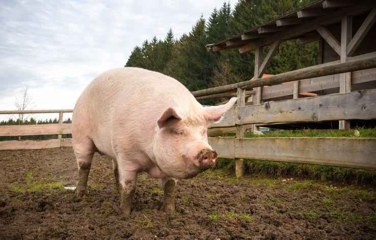 Bagaimana Hukumnya Makan Makanan yang Diisukan Mengandung Babi?