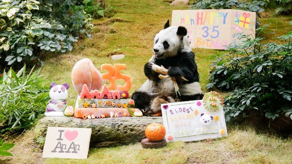 Untuk merayakan ulang tahunnya, An An disuguhi kue Haagen-Dazs. Dia suka mengemil es yang jadi penyejuk di musim panas.