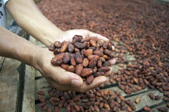 Kakao di Indonesia, Peran Petani Milenial hingga Ekspor Biji Kakao Fermentasi