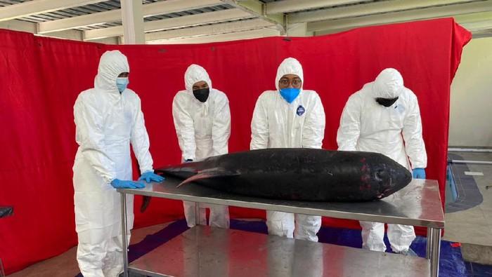 Lumba-lumba mati usai terdampar di Pelabuhan Amuk, Kecamatan Manggis, Kabupaten Karangasem, Bali. (dok. Istimewa)