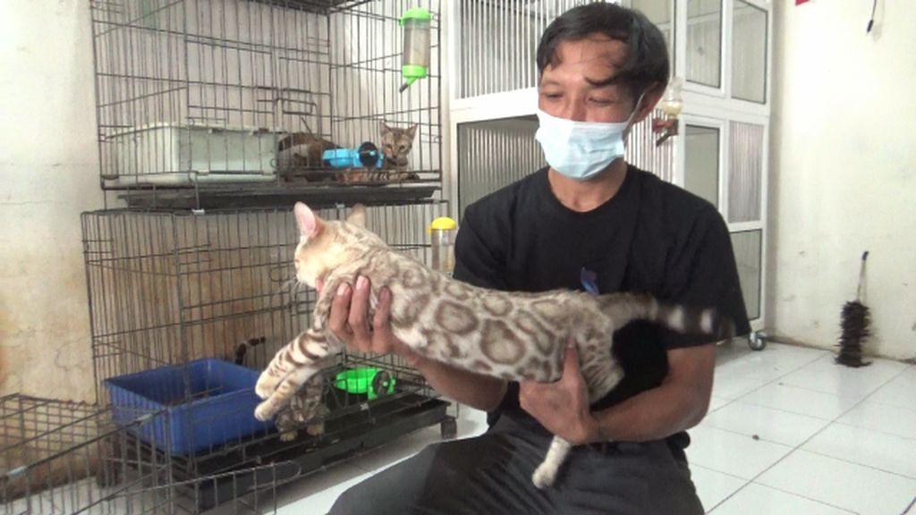 Pria di Lumajang Budidayakan Kucing Bengal yang Mirip Macan Tutul