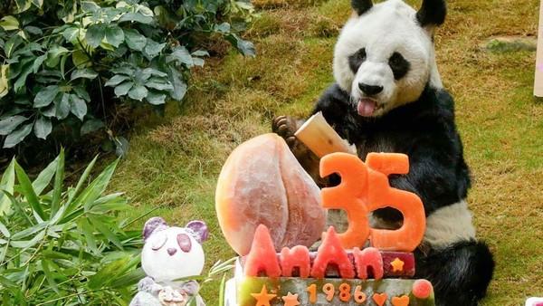 An An merupakan panda raksasa jantan yang hidup paling lama di bawah perawatan manusia. Biasanya rentang hidup panda yang dirawat manusia mencapai usia 30 tahun.