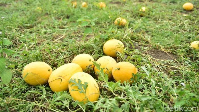 Petani di Lamongan menggelar wisata petik semangka di lahan 150 hektare. Wisata ini menyikapi soal ketidakjelasan pandemi COVID-19 kapan berakhir.