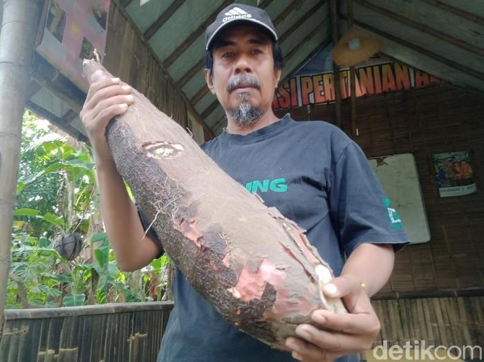 Ketela pohon yang dipanen petani Klaten seberat 9 kg, Kamis (19/8/2021).