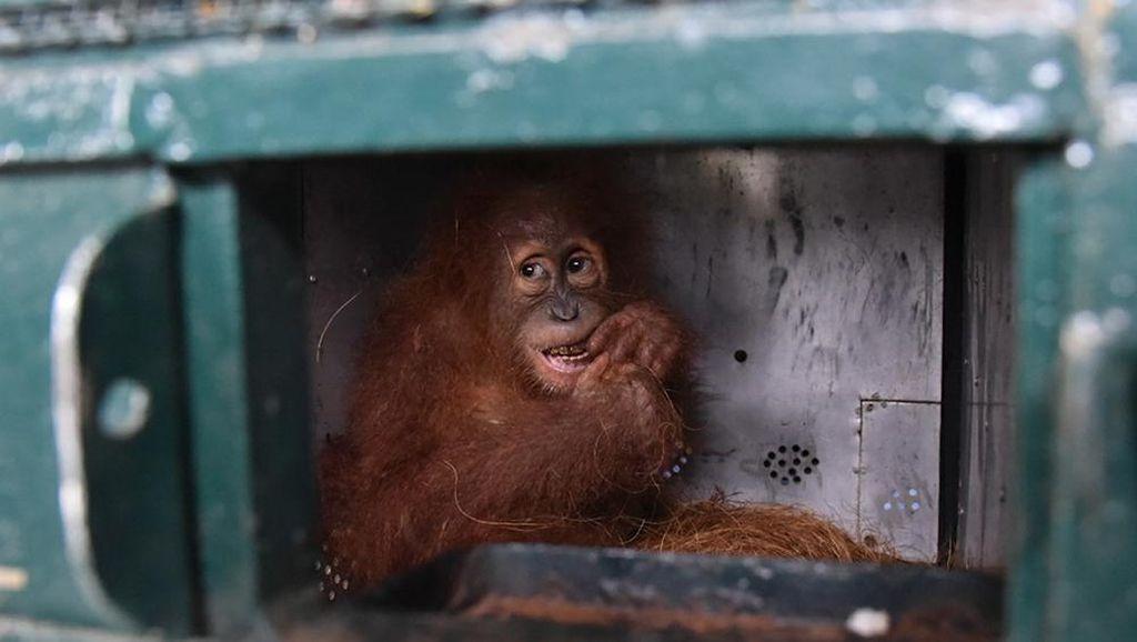 Saat Orangutan Sumatera Kembali ke Rumah
