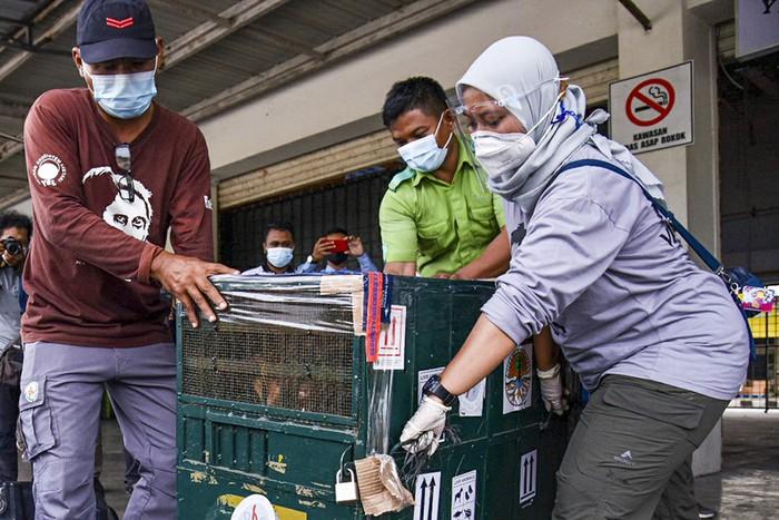 Seekor orangutan Sumatra (Pongo abelii) berada di dalam kandang saat tiba di Terminal Cargo Bandara Kualanamu, Deli Serdang, Sumatera Utara, Kamis (19/8/2021). Dalam rangka Hari Orangutan Internasional, Balai Besar Konservasi Sumberdaya Alam (BBKSDA) Sumatera Utara (Sumut) menerima pemulangan sembilan ekor satwa liar yaitu satu ekor Orangutan Sumatera dan delapan ekor burung Beo Medan yang berasal dari penyerahan masyarakat dan dirawat di Pusat Penyelamatan Satwa Tegal Alur (PPSTA) yang dikelola Balai KSDA DKI Jakarta. ANTARA FOTO/Fransisco Carolio/Lmo/foc.