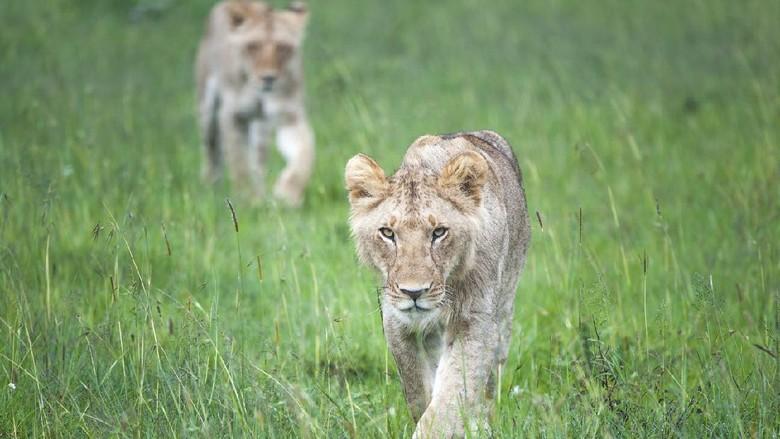 Singa di Masaai Mara