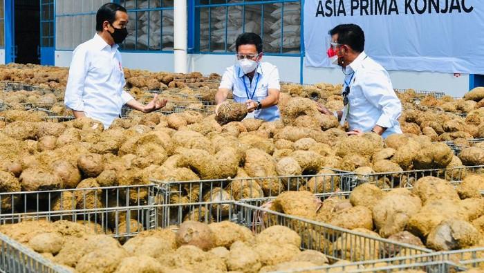 Porang disebut Presiden Jokowi bisa menggantikan beras sebagai makanan pokok. Seperti apa sih porang itu?