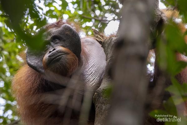 Orangutan liar yang di jumpai