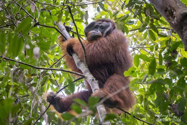 Orangutan lainnya