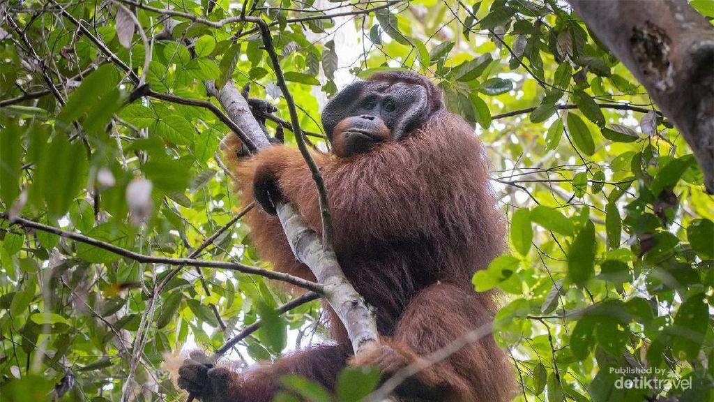 3 Ekor Orang Utan Dilepasliarkan di Hutan Kapuas Hulu Kalbar