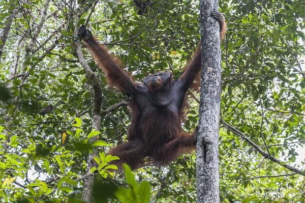 Orangutan liar lainnya