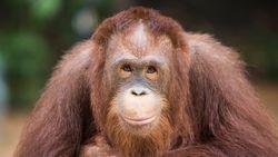 Pertama di Malaysia, Puluhan Orangutan Jalani Tes COVID-19
