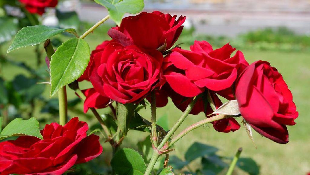 Bagaimana Bunga Mawar Melindungi Dirinya? Ini Jawabannya