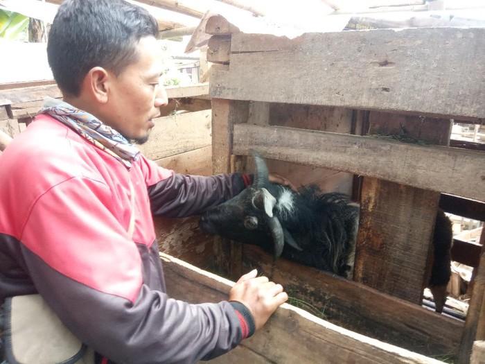 Domba unik bertanduk 4 di Cianjur