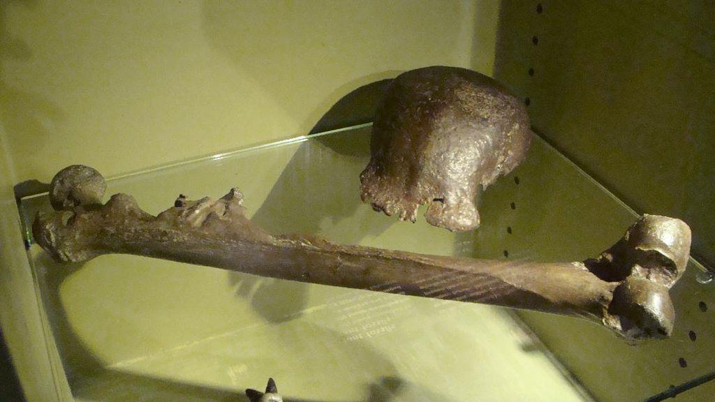 Pithecanthropus Erectus: Sejarah, Ciri-ciri, dan Kontroversi