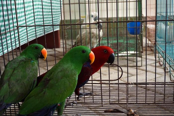 Sejumlah burung Bayan (Psittaciformes) berada dalam kandang saat diamankan di Kantor Karantina Pertanian Kota Sorong, Papua Barat, Senin (23/8/2021). Tim gabungan Polsek Pelabuhan dan Karantina Pertanian berhasil menggagalkan penyelundupan sejumlah hewan dilindungi asli Papua saat hendak dibawa ke atas Kapal penumpang KM Ciremai pada Sabtu dini hari (21/8/2021) lalu. ANTARA FOTO/Olha Mulalinda/wsj.